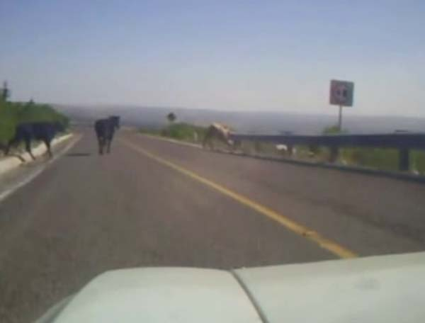 taxi_perdido_vs_cows-600px